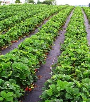 Агроволокно поможет вам собрать отличный урожай