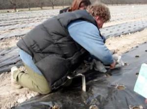 Правильно уложенное агроволокно обязательно компенсирует затраченные на него средства